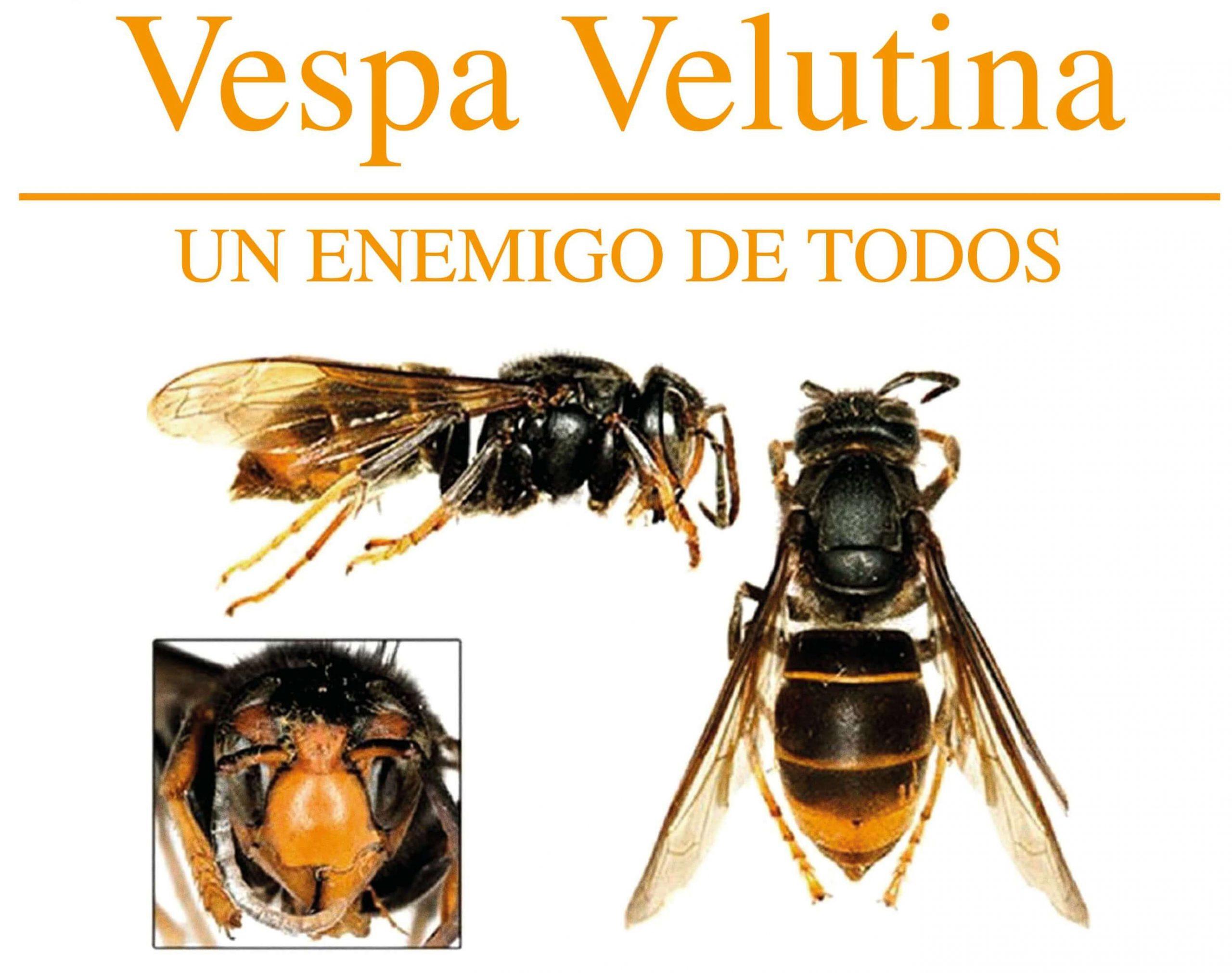 Campaña de vigilancia Vespa Velutina